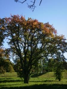 Alter Birnbaum #2